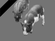Schweinchen(1)