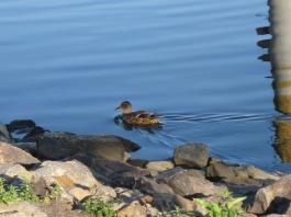 meine Entenfreundin am Kanal
